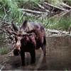 Grand Teton Park  WY Cascade Canyon Moose 5 June 1980