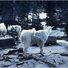 Glacier Park MT Sperry Glacier Mountain Goat 7 July 1980