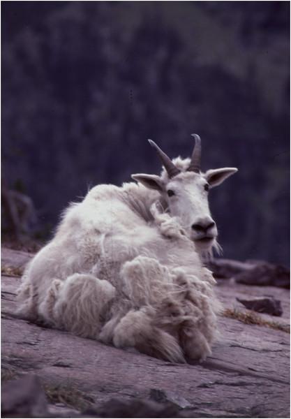 Glacier Park MT Sperry Glacier Mountain Goat 4 July 1980