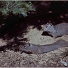 Grand Teton Park  WY Jenny Lake Ground Squirrels 1 June 1980