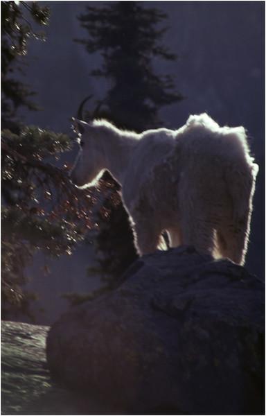 Glacier Park MT Sperry Glacier Mountain Goat 9 July 1980