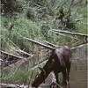 Grand Teton Park  WY Cascade Canyon Moose 1 June 1980
