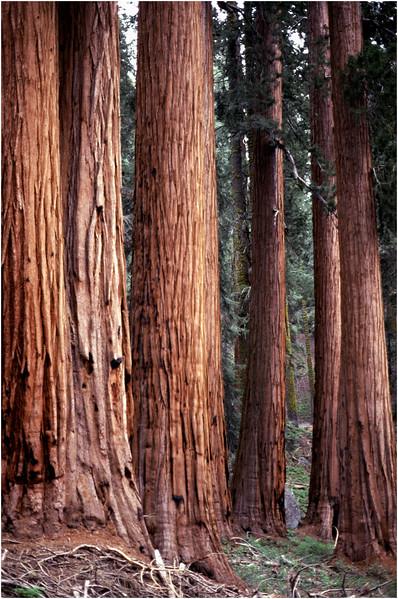 Sequoia NP CA Trees 6 June 1980