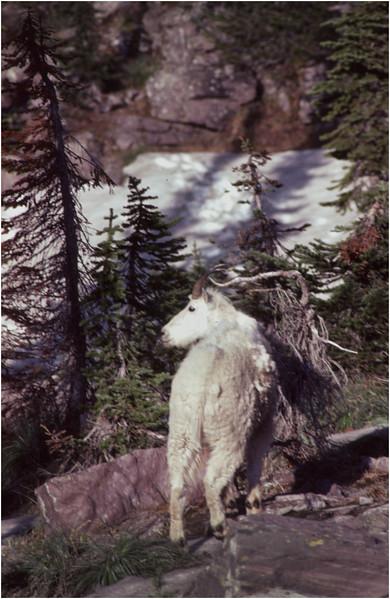 Glacier Park MT Sperry Glacier Mountain Goat 2 July 1980