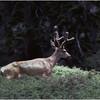Sequoia NP CA Blacktail Deer Buck 3 June 1980