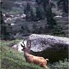 Sequoia NP CA Blacktail Deer Buck 1 June 1980