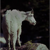 Glacier Park MT Sperry Glacier Mountain Goat 8 July 1980