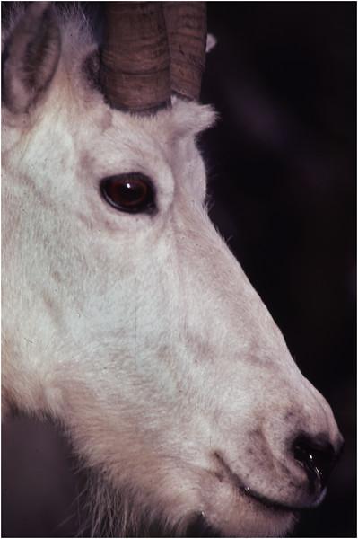 Glacier Park MT Sperry Glacier Mountain Goat 6 July 1980
