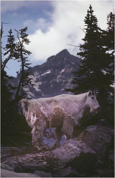 Glacier Park MT Sperry Glacier Mountain Goat 11 July 1980