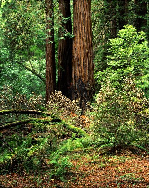 45 California Sequoia NP Big Trees 1 September 1999