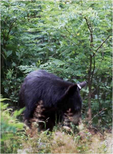 Shenendoah VA Blackbear Mother  July 1996
