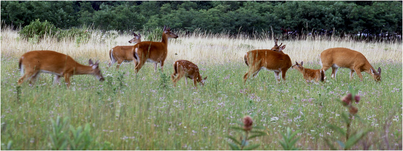 Shenendoah VA Big Meadow Whitetail Herd 1 July 1996