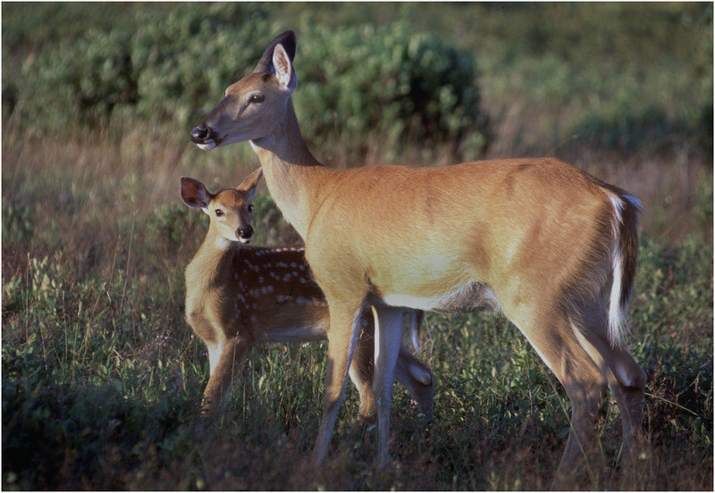 Shenendoah VA Big Meadow Whitetail Doe with Fawn 5 July 1996