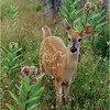 Shenendoah VA Big Meadow Whitetail Fawn 2 July 1996