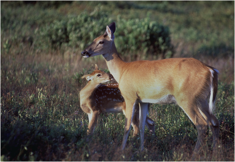 Shenendoah VA Big Meadow Whitetail Doe with Fawn 4 July 1996