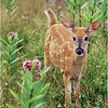 Shenendoah VA Big Meadow Whitetail Fawn 7 July 1996