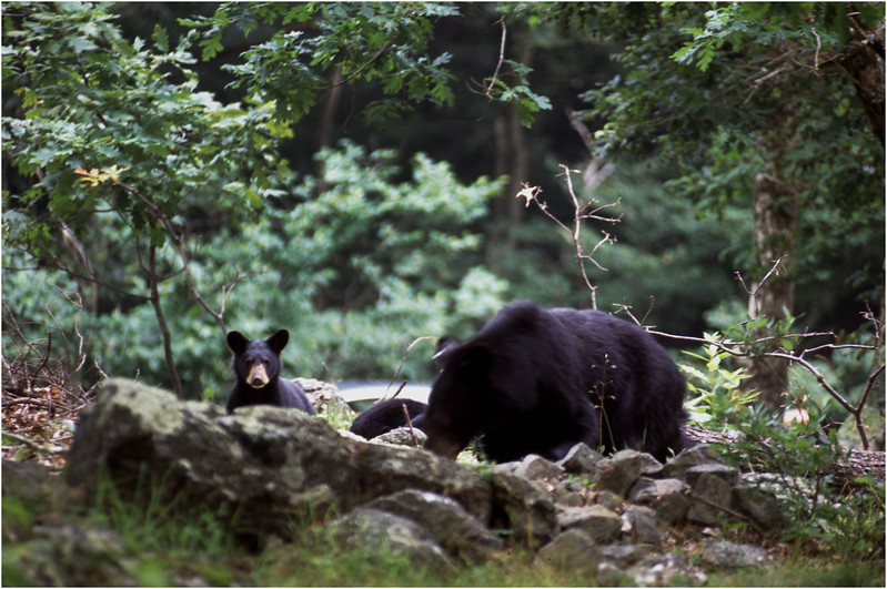 Shenendoah VA Blackbear Mother and Cub 1 July 1996
