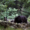 Shenendoah VA Blackbear Mother and Cub 1 July 1996