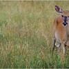 Shenendoah VA Big Meadow Whitetail Doe 3 July 1996