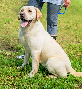 "This is ""Duck"". He's one of the ""stud"" males at Classic Labs!"