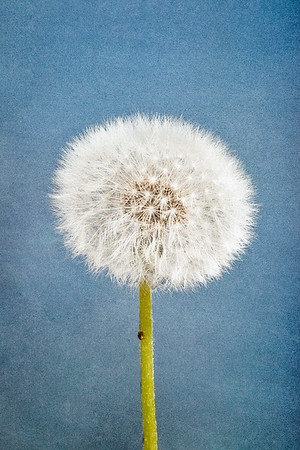 Dandelion (Ready To Fly)