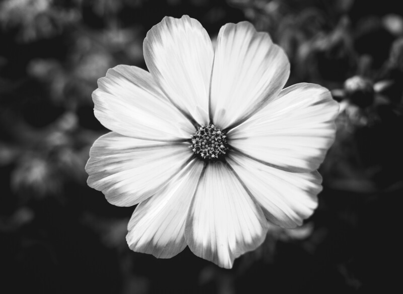 Gorgeous Petals (Black And White)