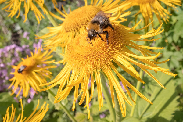 Bee And Yellow Flower IV