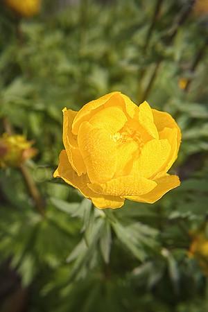 Golden Yellow Flower