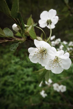 Cherry Blossoms In Pispala Garden XI