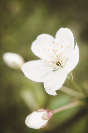Cherry Blossoms In Pispala Garden V