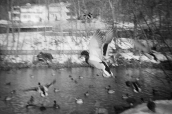 Early Spring Photos VII (Flying Duck)