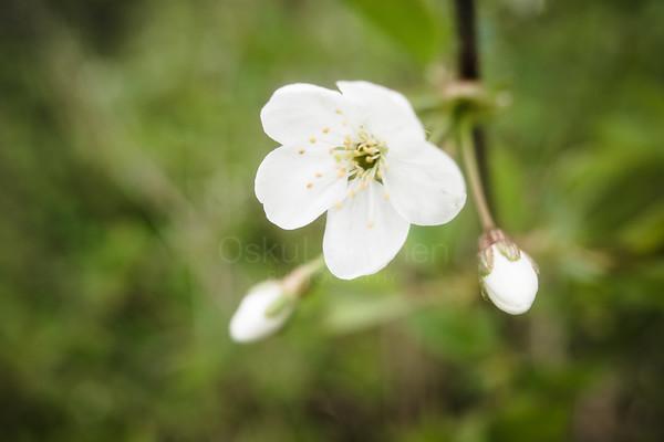 Cherry Blossoms In Pispala Garden IV