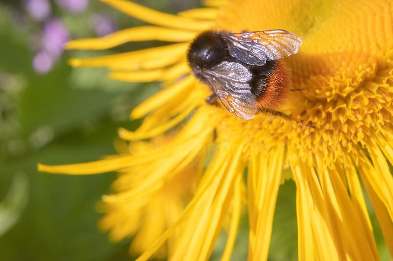 Bee And Yellow Flower III