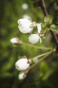 Cherry Blossoms In Pispala Garden VIII