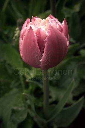 Tenderly Pink Flower I