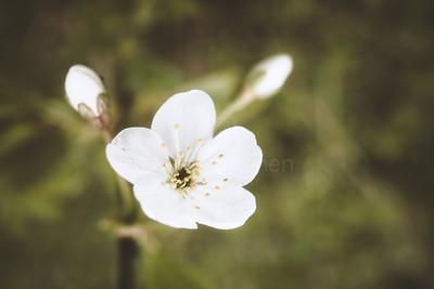 Cherry Blossoms In Pispala Garden III