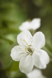 Cherry Blossoms In Pispala Garden I