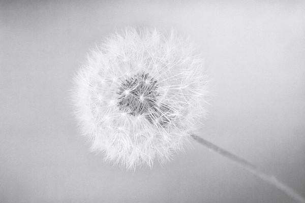 Light Dandelion