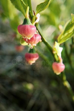 Blueberry Flower