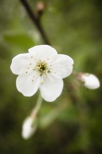 Cherry Blossoms In Pispala Garden VII