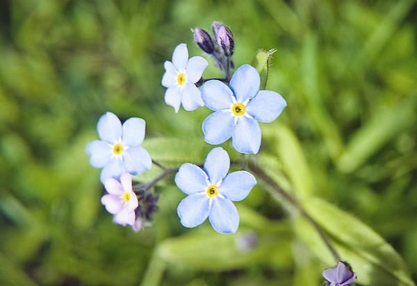 Tenderly Bluish Flower