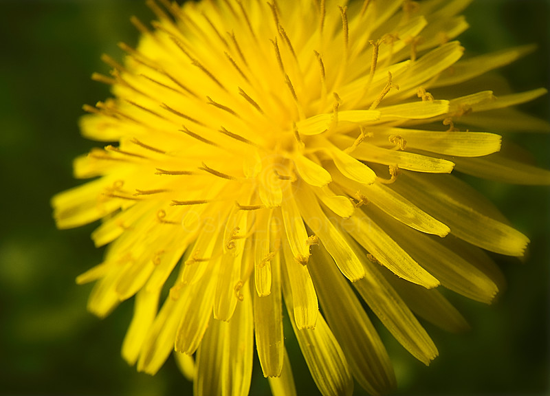 Warm Coloured Dandelion