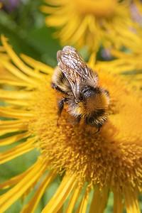 Bee And Yellow Flower II
