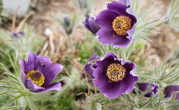 Flower Of Frost III