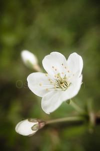 Cherry Blossoms In Pispala Garden X
