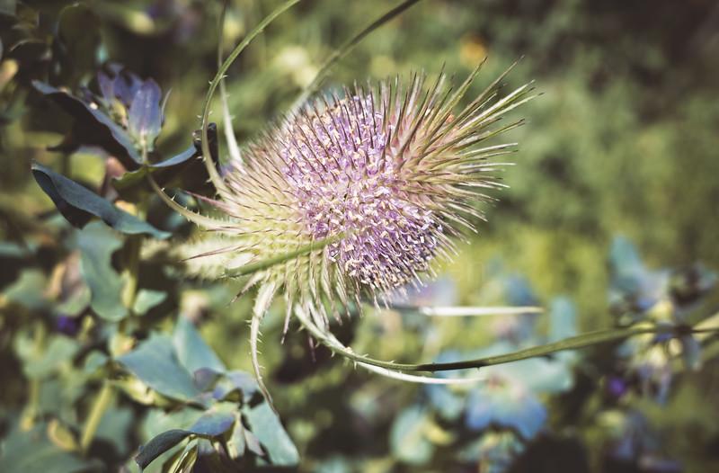Focus (Flower)