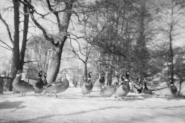 Early Spring Photos VI (Vintage Ducks)