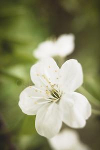 Cherry Blossoms In Pispala Garden IX
