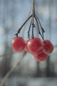 Berries Of Spring I