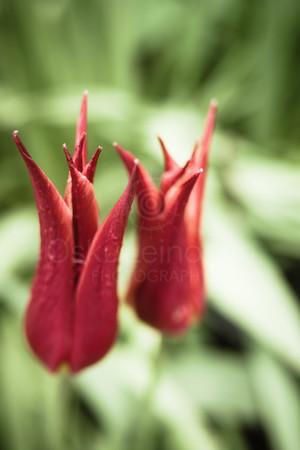 So Red (Flower) I